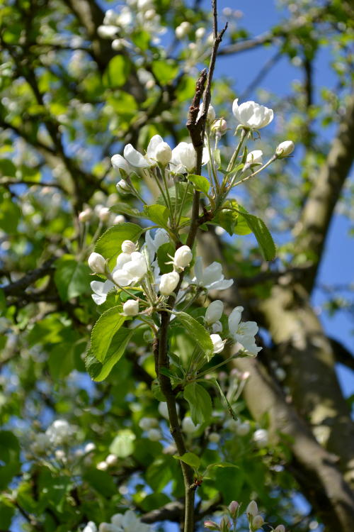 Spring: Blossom in Stirchley Park