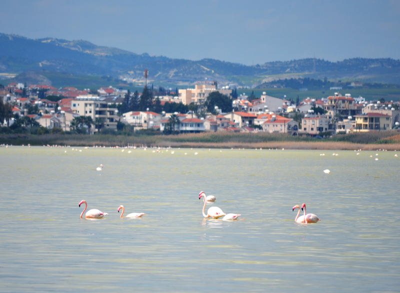 Flamingoes flying over the salt water lake at Larnaca
