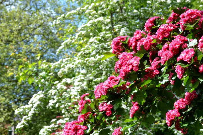 Colourful bushes in Stirchley Park