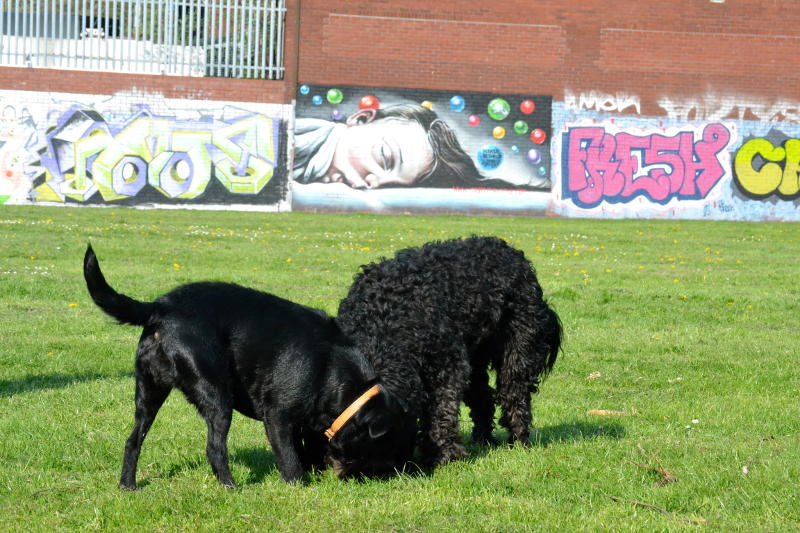 Dogs playing in Stirchley Park