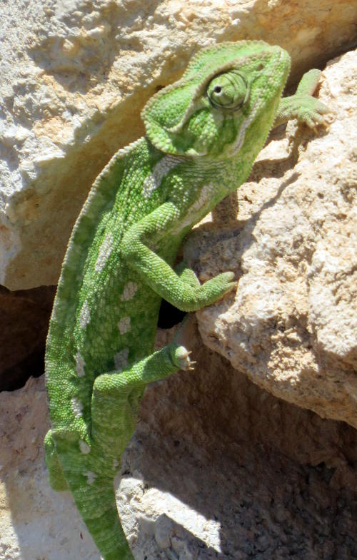A green lizard climbing a wall