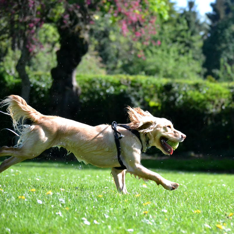 A dog running with a ball in its mouth