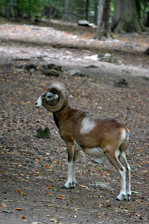A wild sheep, with curved horns