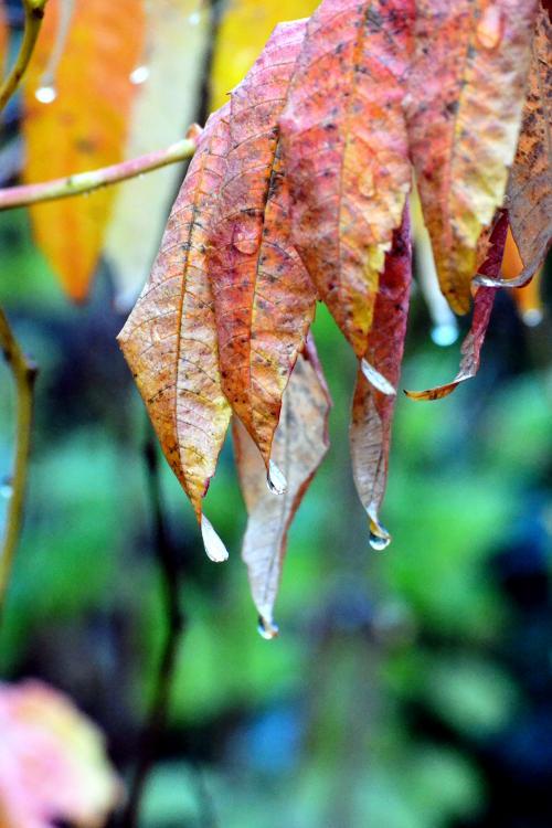 Raindrops on a golden leaf