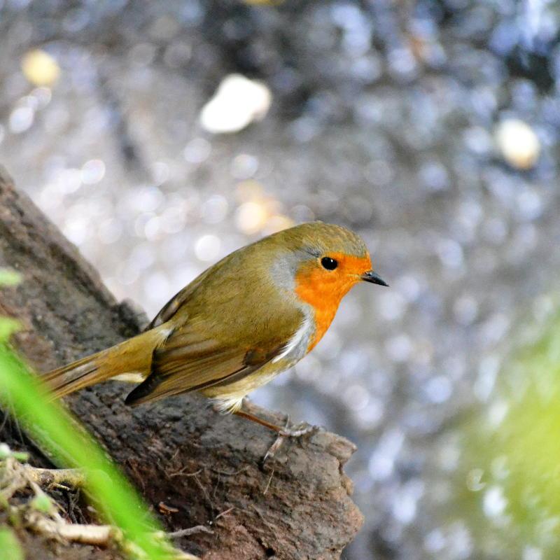 A robin on a log