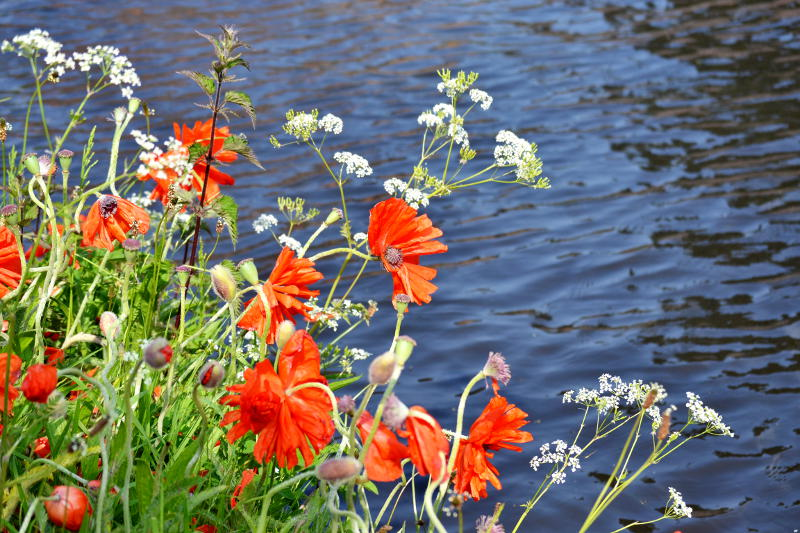 Poppies growing by the canal