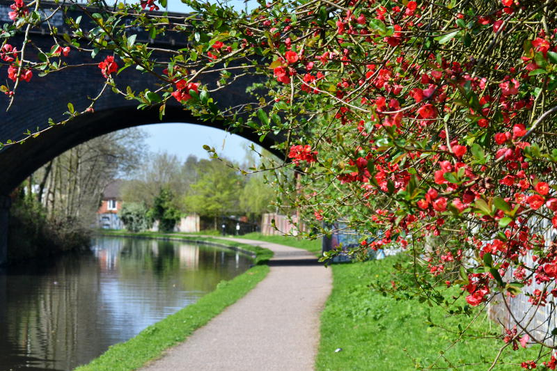 Red flowers on a bush with a canal bridge in the background