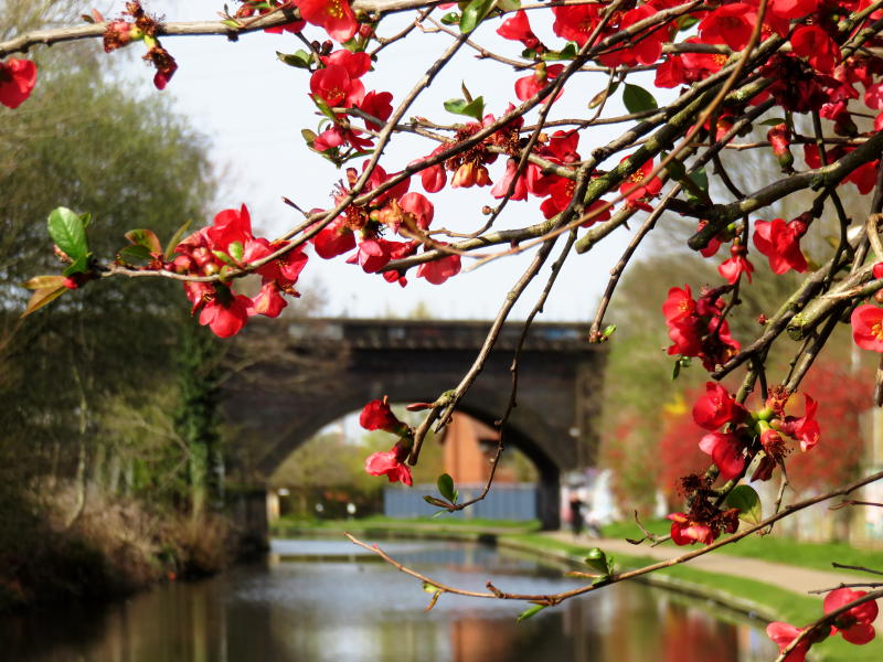 Red quince flowers overhanging the canal