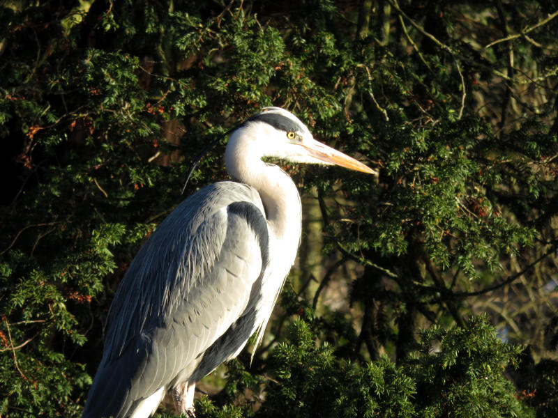 A heron in front of bushes