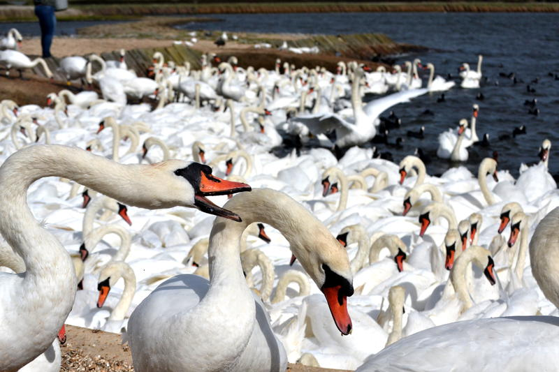 A multitude of swans at Abbotsbury Swannery