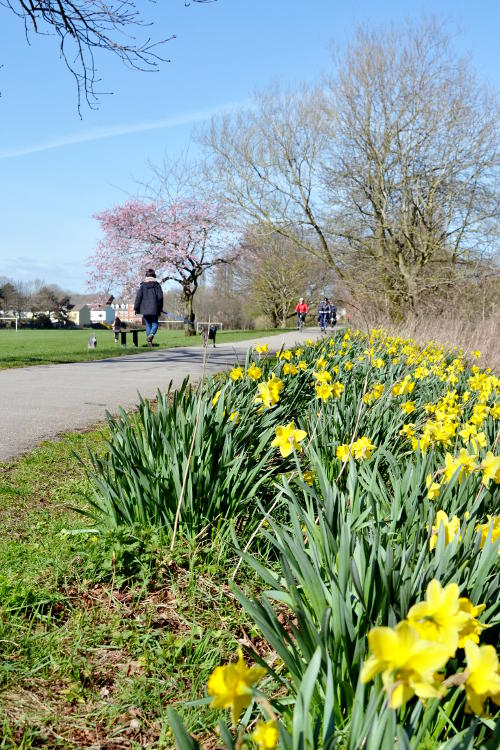 Daffodils by a cycle path