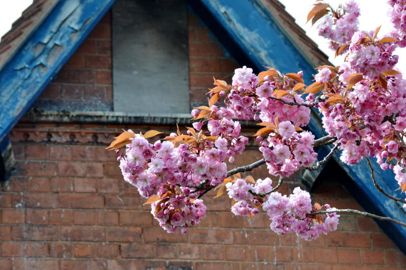 Pink blossom in front of an old building