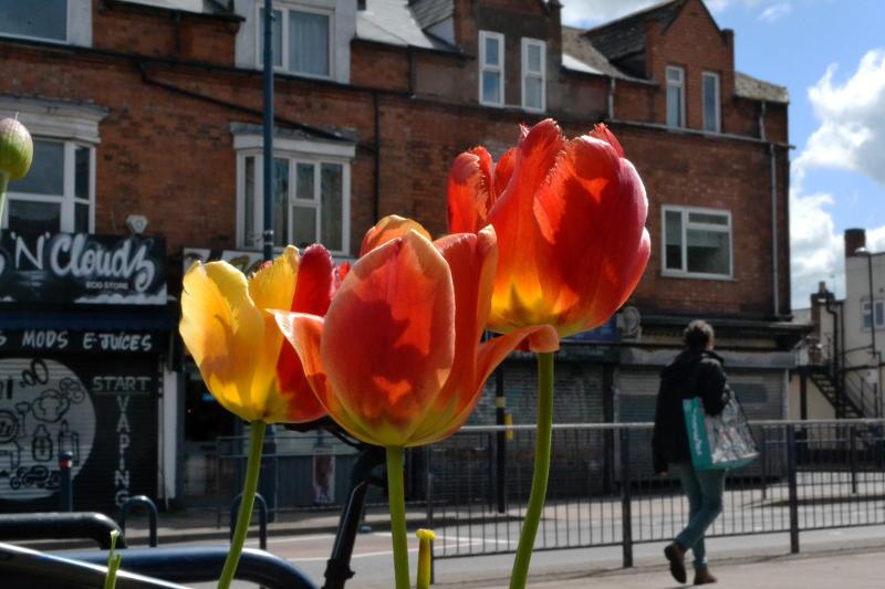 A pedestrian walks past tulips in the sunshine