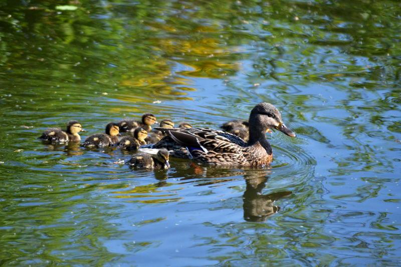 Ducklings on the canal near Selly Oak