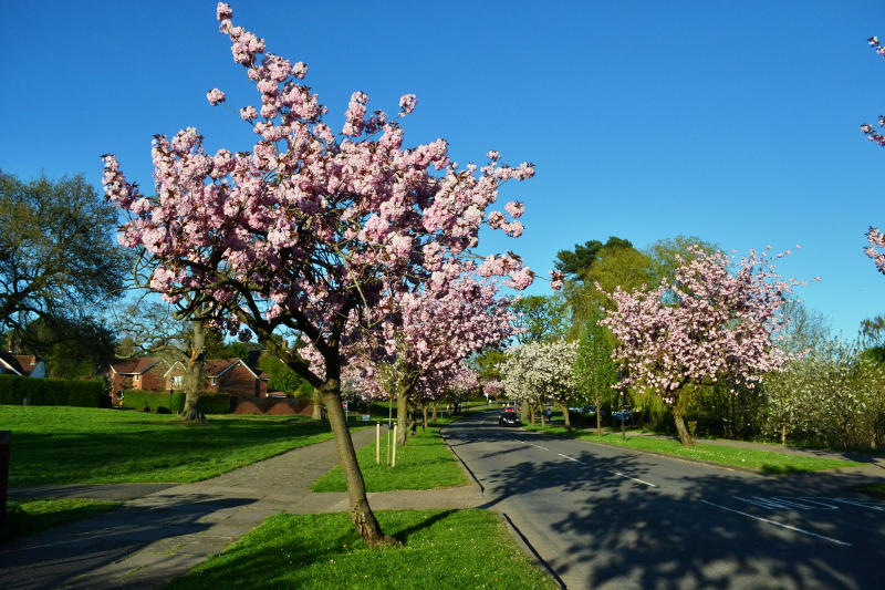 Cherry bloosom on trees by an empty road