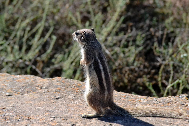 Barbary Ground Squirrel, similar to a chipmunk