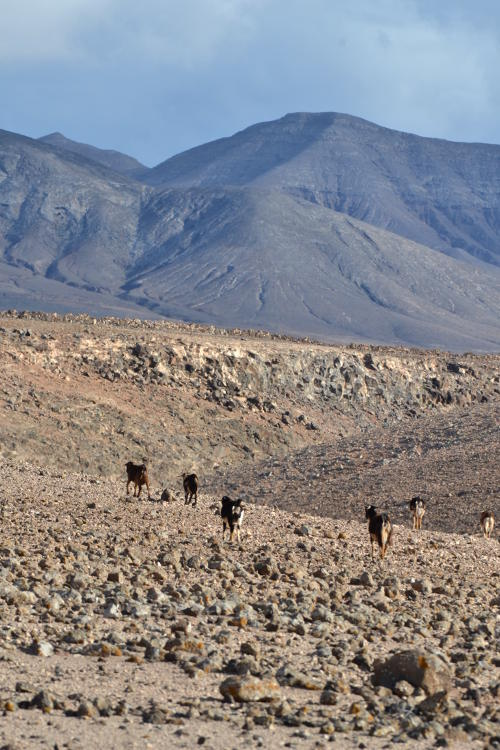Goats on a rocky path