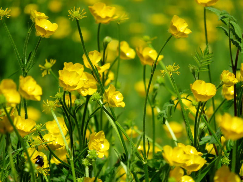 A field of buttercups
