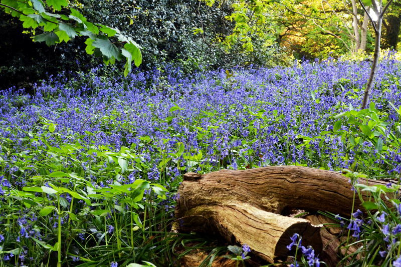A patch of bluebells