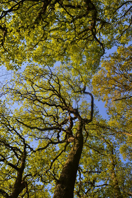 Looking up through trees into a blue sky