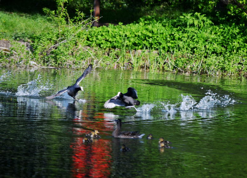 Coots flying in to land on Lifford Reservoir