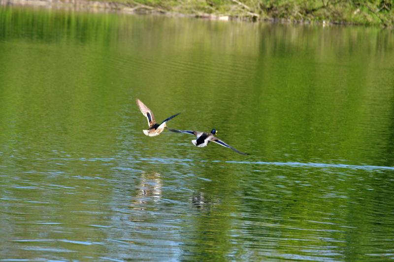 Ducks taking off at Lifford Reservoir