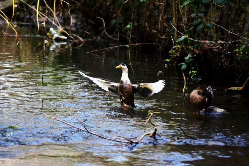 Duck flapping its wings on a river