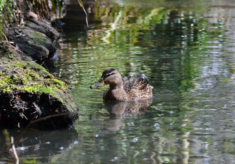 A duck on the River Bourn
