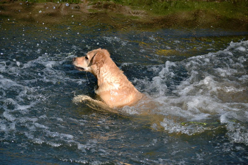 A dog swimming in the River Rea
